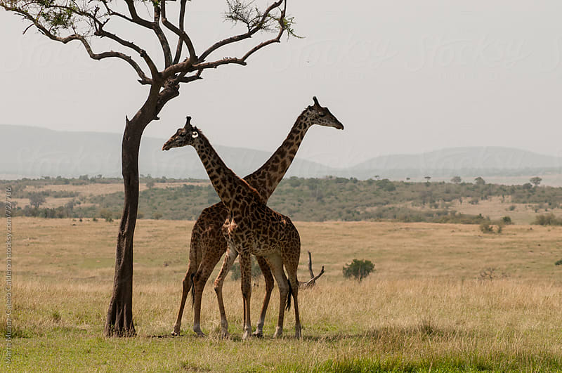 Girraffes necks intertwined in Masai Mara National Park, Kenia by Marta Muñoz-Calero Calderon for Stocksy United