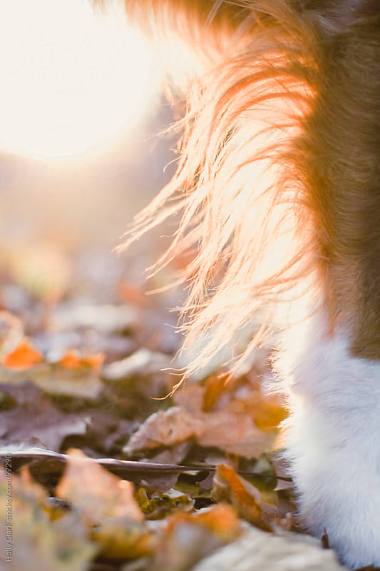 The fur on a dog's leg standing in autumn leaves backlit by the  by Holly Clark for Stocksy United
