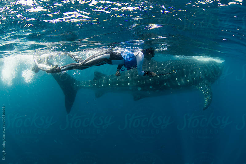 Whale sharks feeding in Caribbean sea by Song Heming for Stocksy United