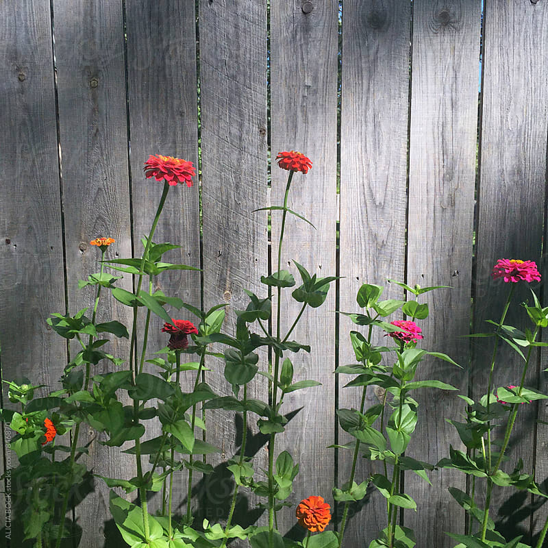 Tall Zinnia Flowers Growing In A Summer Garden by ALICIA BOCK for Stocksy United