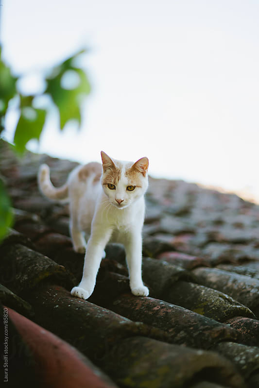 White and red crossbreed cat on ancient shingles roof by Laura Stolfi for Stocksy United