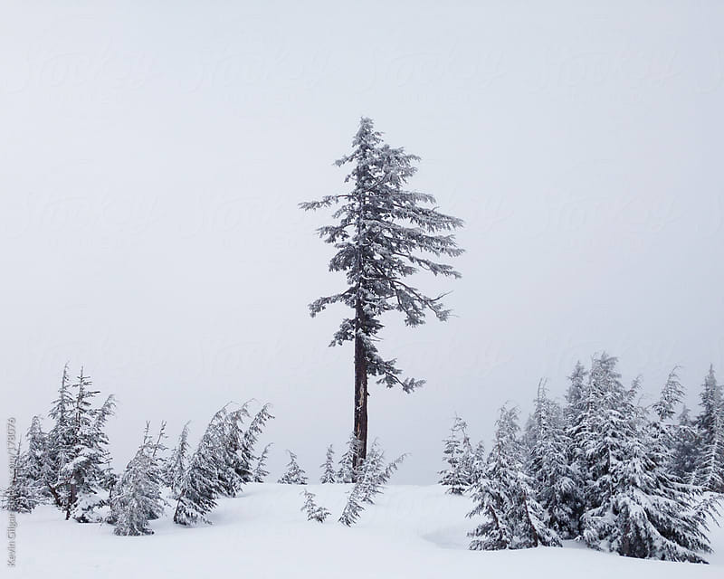 Tall Tree in Snow by Kevin Gilgan for Stocksy United