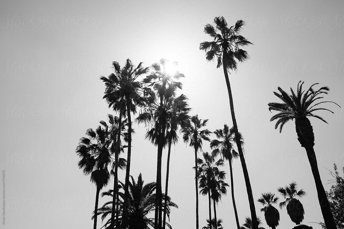 Los Angeles Palm Trees By Victor Deschamps California Palm Tree