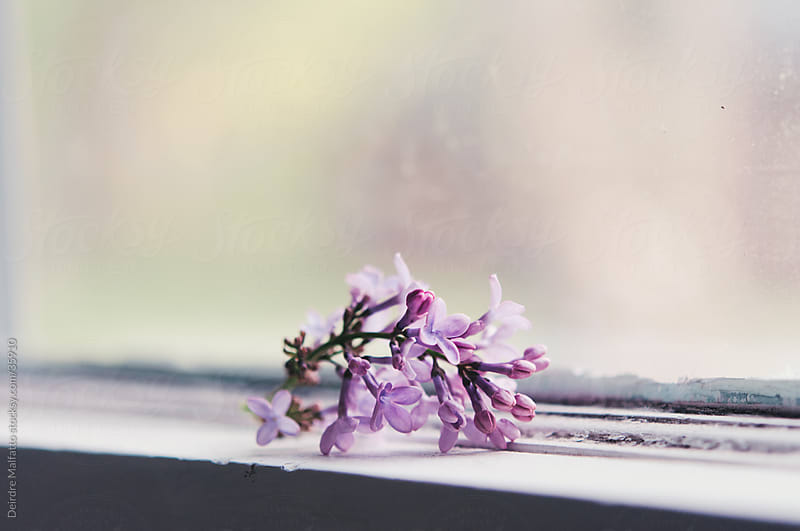 purple lilac flower on window sill by Deirdre Malfatto for Stocksy United