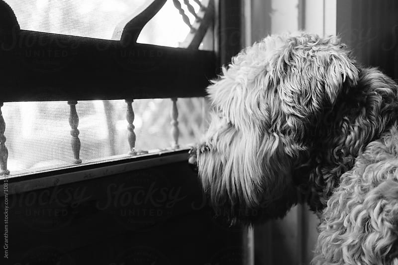Soft coated wheaten terrier dog asks to go outside at the cottage by Jen Grantham for Stocksy United