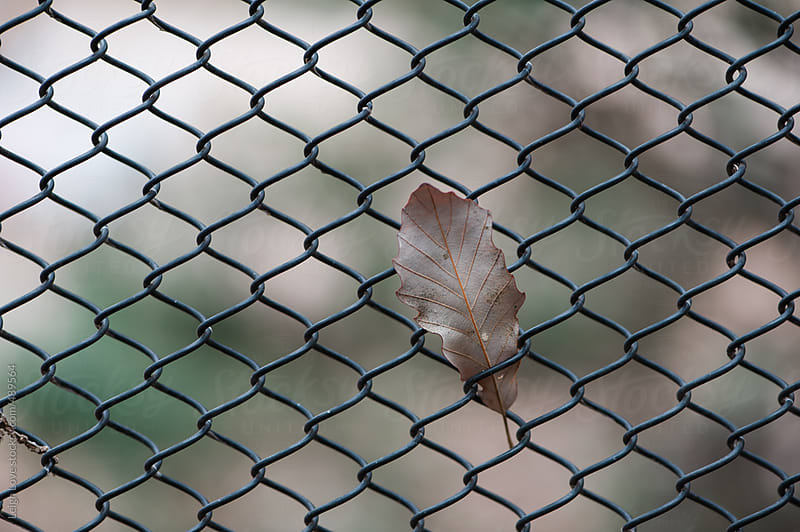 Oak Leaf Caught In A Chainlink Fence by Leigh Love for Stocksy United