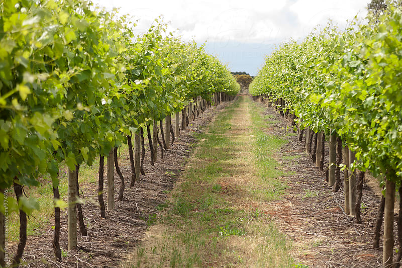 View between the vine rows in a vineyard by Ben Ryan for Stocksy United