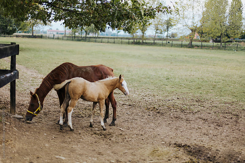 Pale blue eyed foal and grazing mother mare by Laura Stolfi for Stocksy United