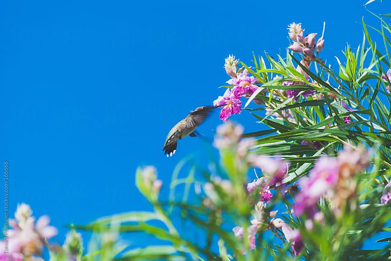 Hummingbird Feeding From Tree by Tamara Pruessner for Stocksy United