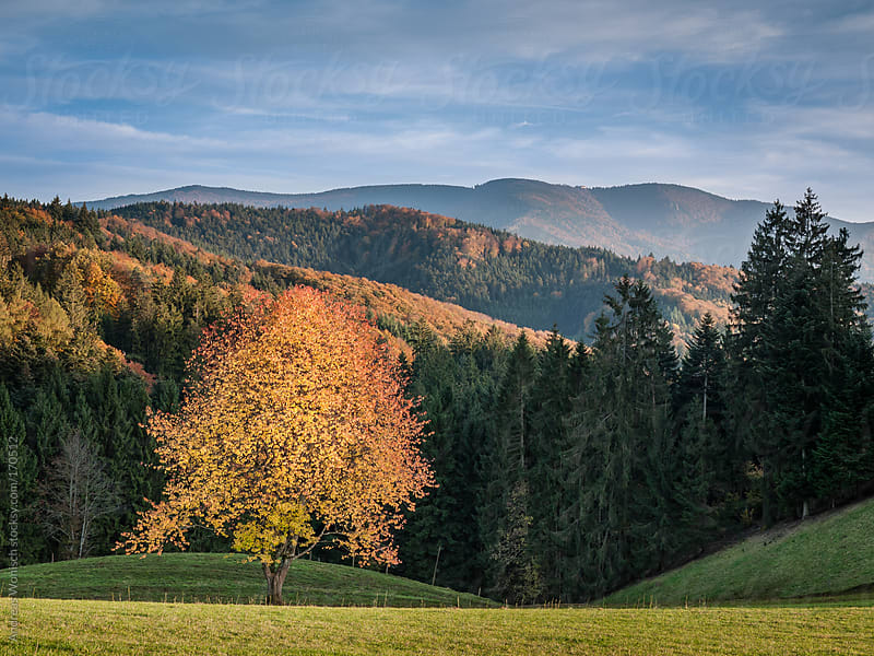 Colorful Apple Tree during Fall by Andreas Wonisch for Stocksy United