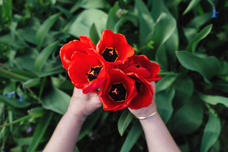 Woman holding red tulips by Pixel Stories for Stocksy United