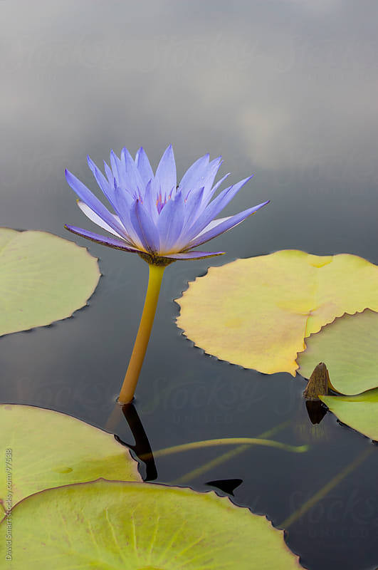 Water lily with dark cloudy sky reflected on water surface by David Smart for Stocksy United
