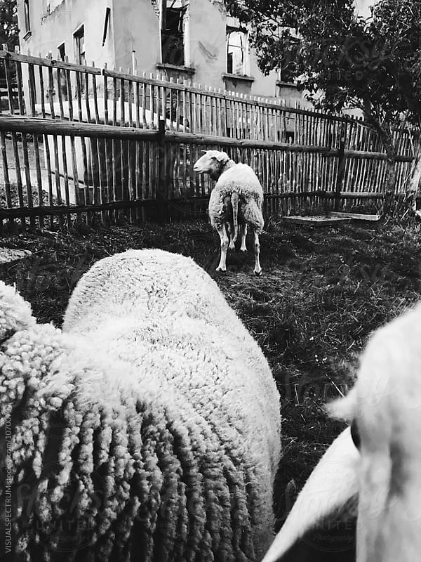Black and White Shot of Sheep  by Julien L. Balmer for Stocksy United