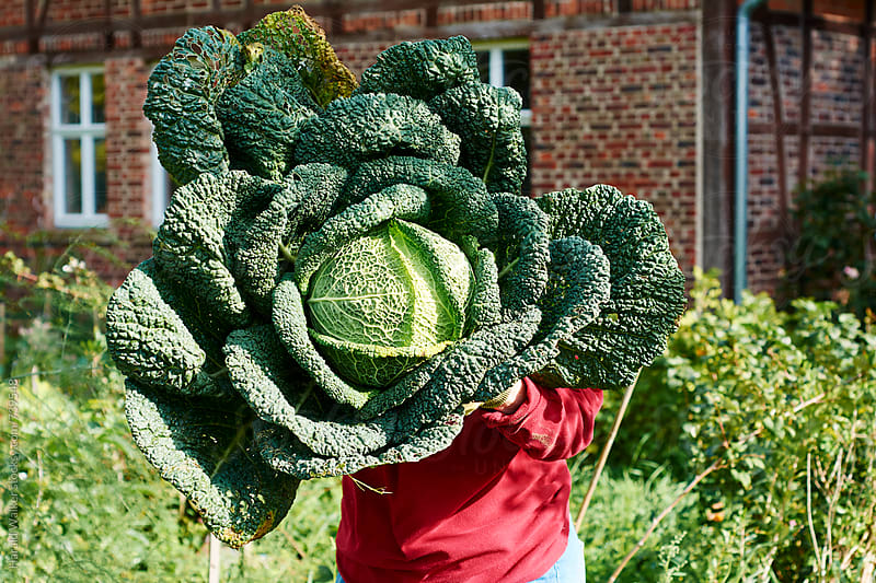 Gardener holding a large savoy cabbage by Harald Walker for Stocksy United