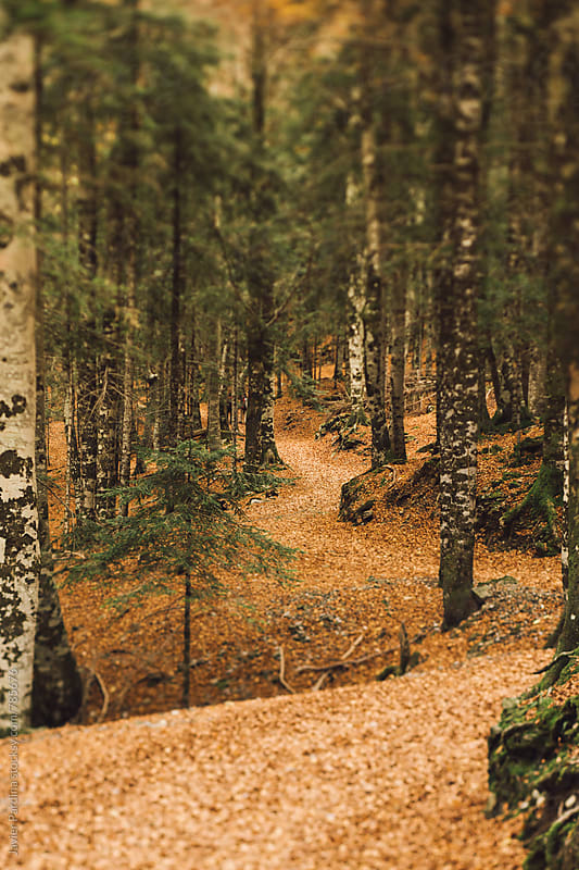 road  covered with fallen leaves in the forest by Javier Pardina for Stocksy United