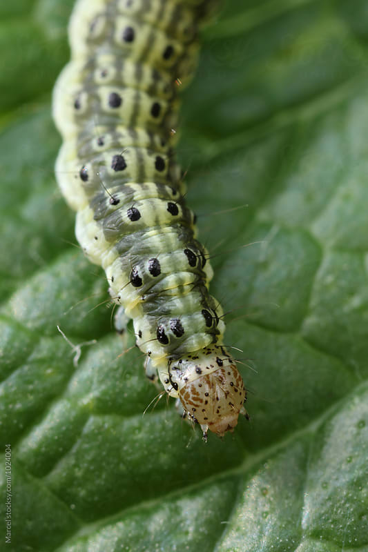 The mint moth caterpillar by Marcel for Stocksy United