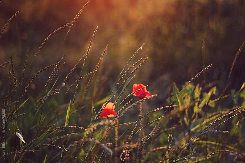 Poppies in the field by Jovana Rikalo for Stocksy United