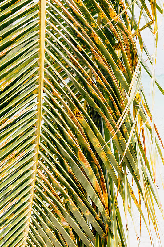 Palm Leaf by Taylor Kampa for Stocksy United