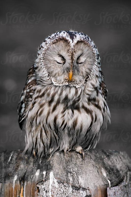 Ural owl by Gabriel Ozon for Stocksy United
