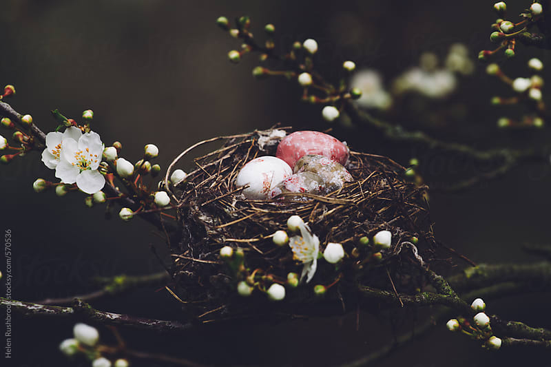 Eggs in a nest in a blossom tree by Helen Rushbrook for Stocksy United