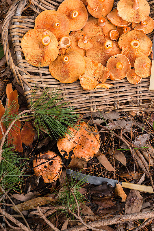 freshly harvested pine mushrooms in a rustic french basket by Gillian Vann for Stocksy United