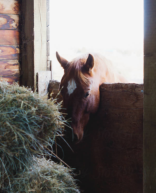 A horse leans over a stall door towards the hay bales by Tana Teel for Stocksy United