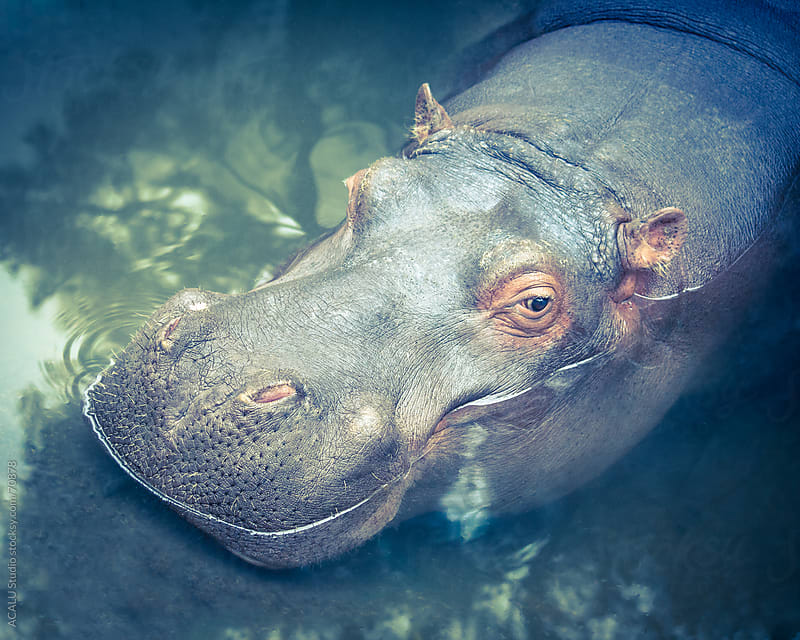 Hippopotamus by ACALU Studio for Stocksy United