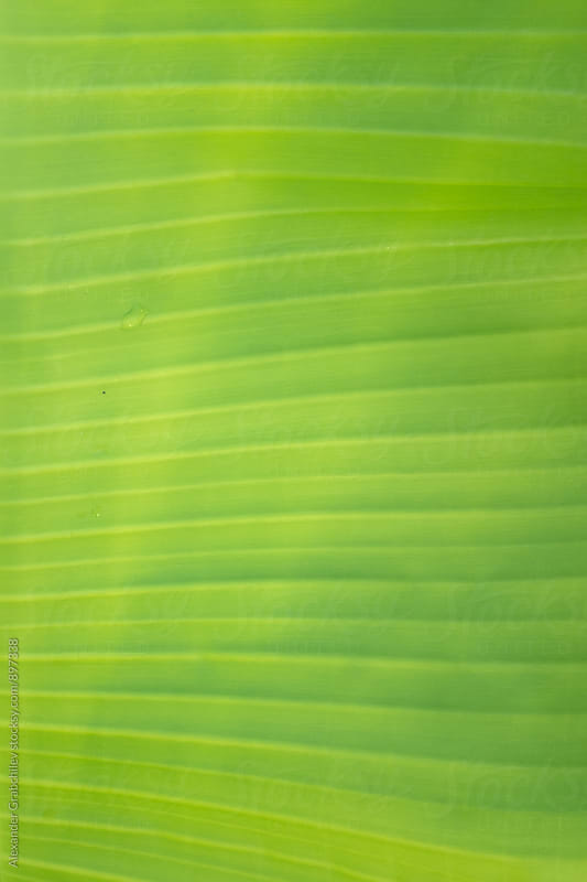 Banana Leaf Texture by Alexander Grabchilev for Stocksy United