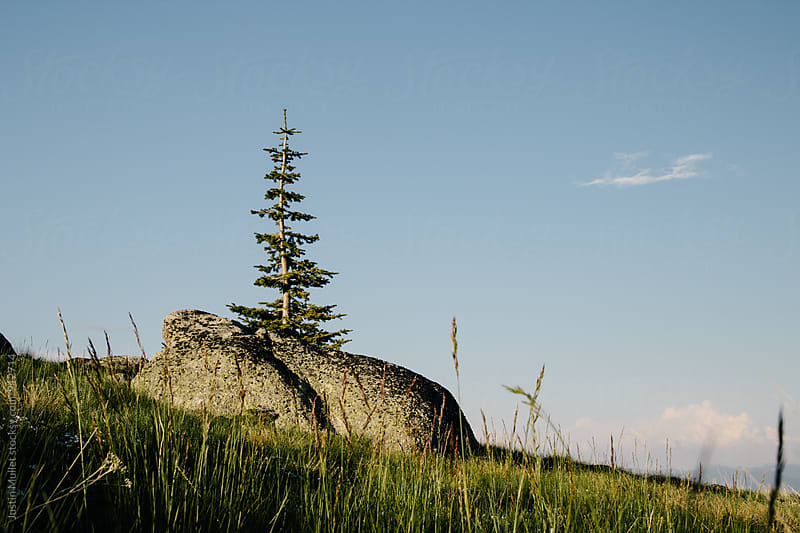 Alpine pine tree standing behind a large rock by Justin Mullet for Stocksy United
