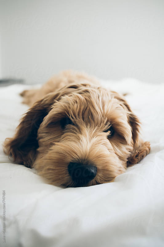Tired Labradoodle Puppy Lying On Bed Looking Into Camera by Luke Mattson for Stocksy United