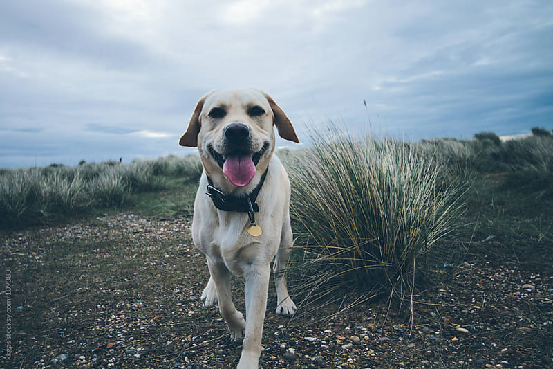 Labrador dog on a stony beach on an overcast day by kkgas for Stocksy United