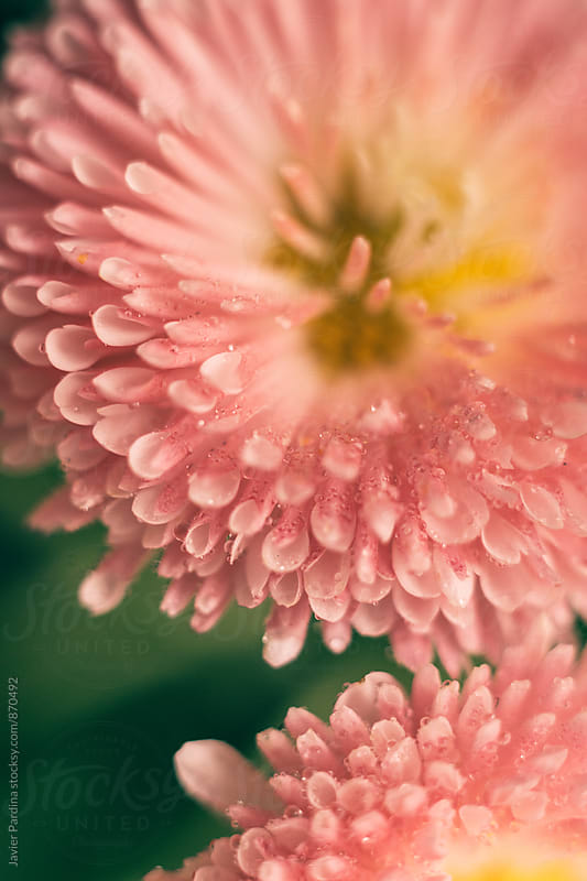 macro details of flowers  by Javier Pardina for Stocksy United