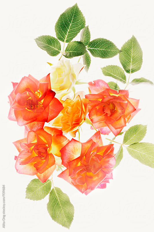 Semi transparent roses by Alita Ong for Stocksy United