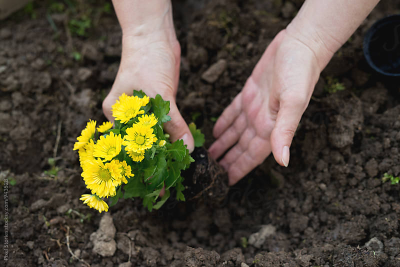 Woman planting Chrysanthemums  by Pixel Stories for Stocksy United
