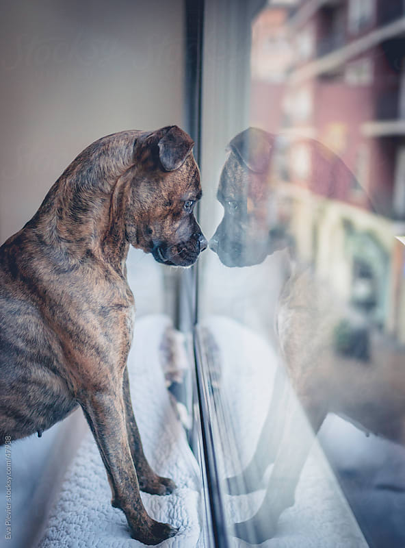 Dog looking out the window. by Eva Plevier for Stocksy United