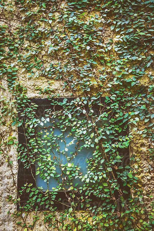 Climbing ivy on window by ACALU Studio for Stocksy United