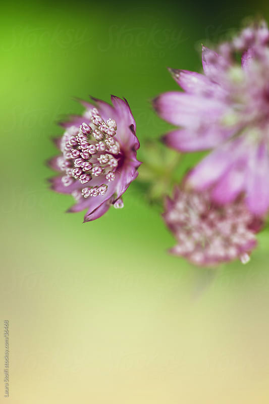 Extreme close-up of pink giant masterwort flowers in bloom on green blurry background by Laura Stolfi for Stocksy United