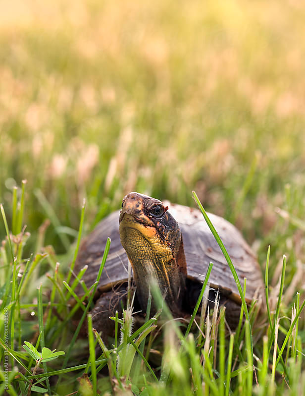 Box Turtle in the Grass by Brandon Alms for Stocksy United