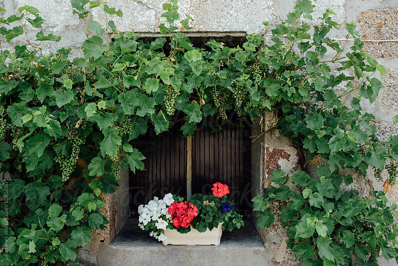 window with geraniums and vine by Léa Jones for Stocksy United