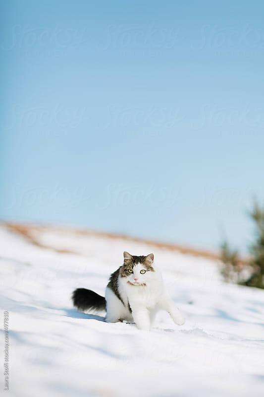 Siberian cat standing in the snow on roof top and looking straight at the camera by Laura Stolfi for Stocksy United