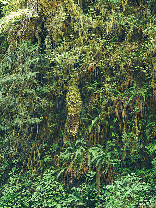 tree covered with moss in rain forest by yuanyuan xie for Stocksy United