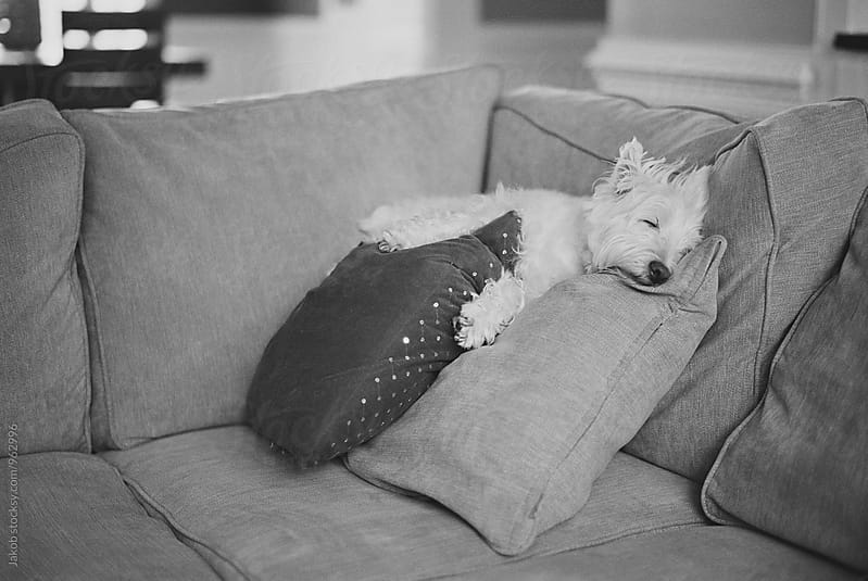 Cute small white dog sleeping on a couple of pillows by Jakob for Stocksy United