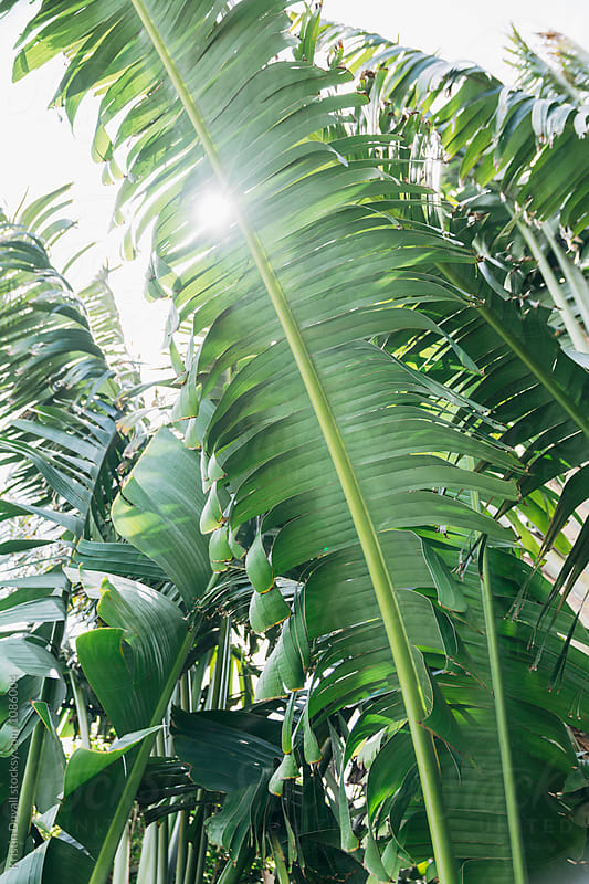 Sunlight through traveller's palm tree by Kristin Duvall for Stocksy United