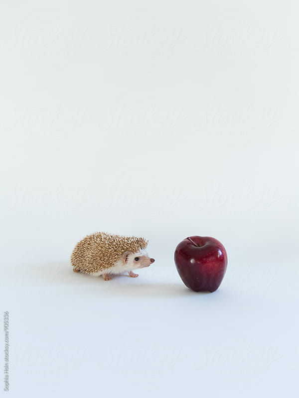 Hedgehog and apple by Sophia Hsin for Stocksy United