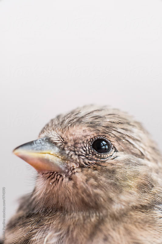 Detail of this cute Serin by Javier Pardina for Stocksy United