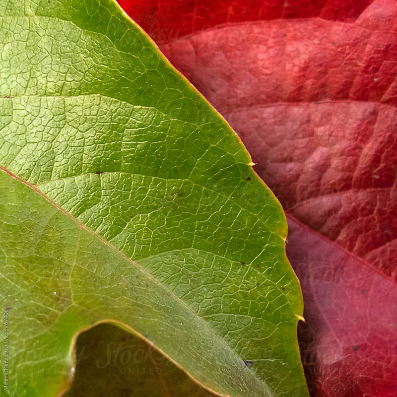 Closeup of red and green vine leaves by Melanie Kintz for Stocksy United