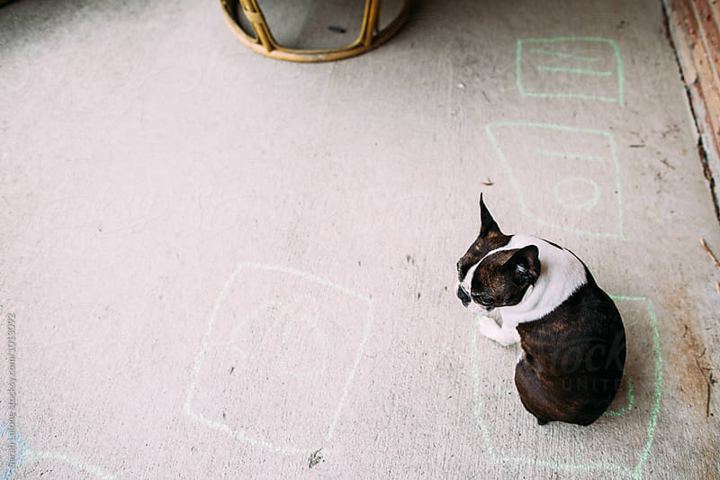 a boston terrier sitting on a concrete patio by Sarah Lalone for Stocksy United