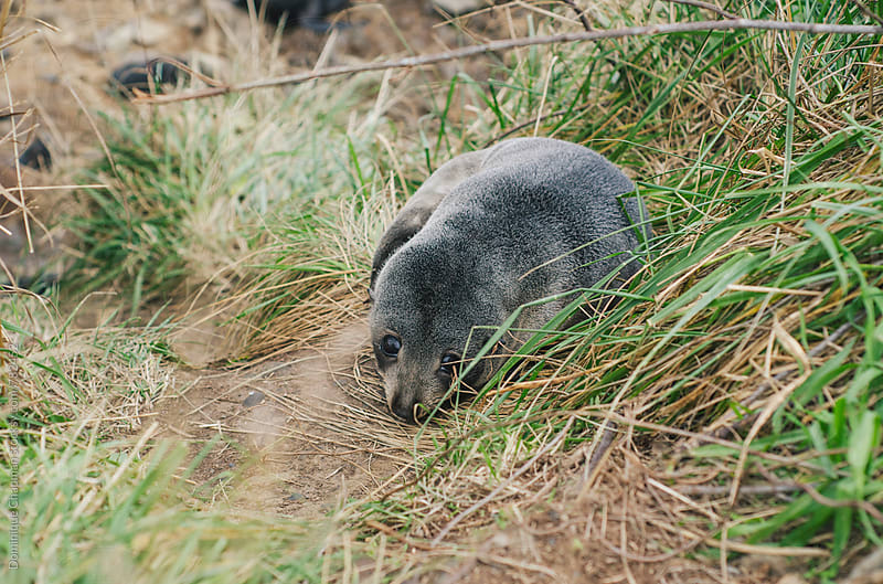 Baby seal resting along the beach in New Zealand by Dominique Chapman for Stocksy United