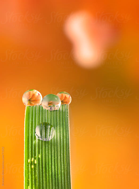 Dewdrop Refractions of a Orange Lily on a Blade of Grass by Brandon Alms for Stocksy United