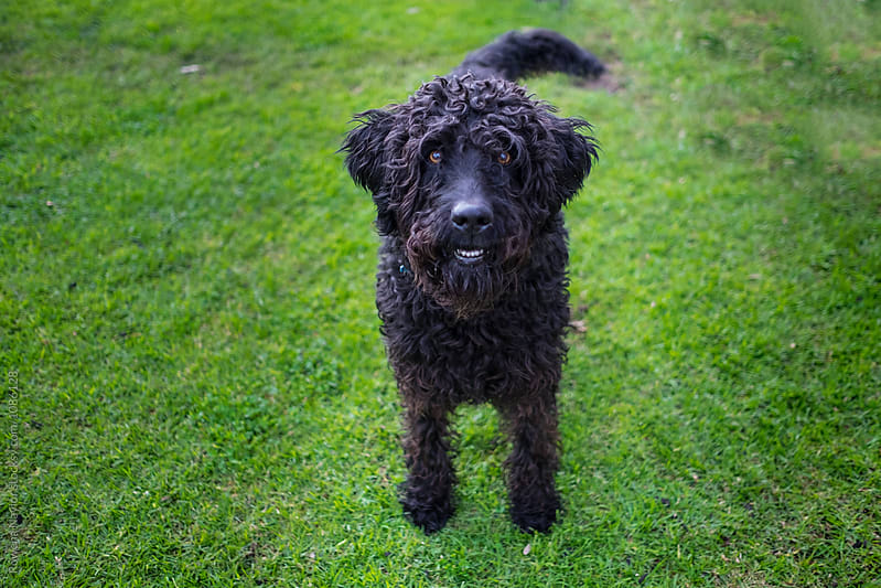 Joyful black Labradoodle Dog by Rowena Naylor for Stocksy United